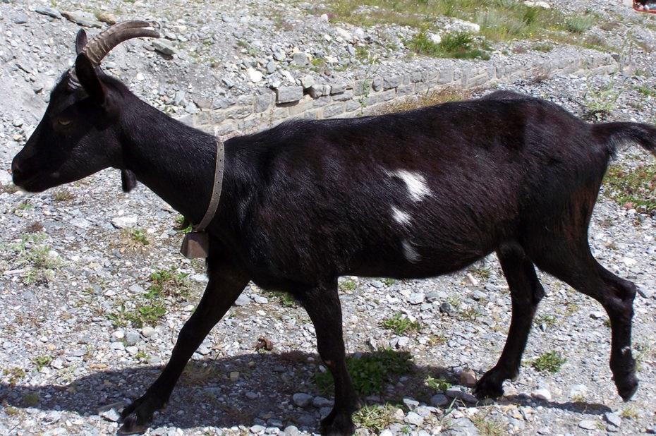 Sabotage par vol de la chèvre noire d'Idaroussi Hamadi